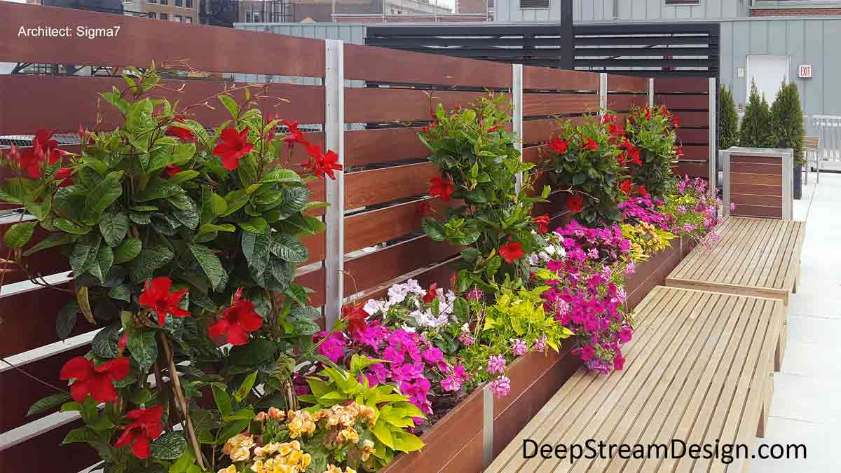 In full bloom, long Modern Planters with Trellises create a screen wall made with Ipe wood and aluminum Trellis uprights on an urban penthouse roof terrace show how vines will be trained to grow up the wood slats to create a natural privacy screen wall fully engulfed in red flowers.