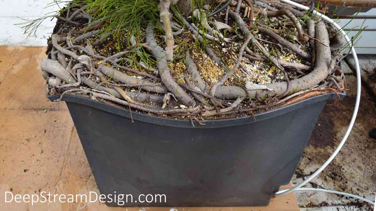 A rugged planter liner bulging from the roots of a 5-year-old Clusia Tree in need of a yearly root trimming.
