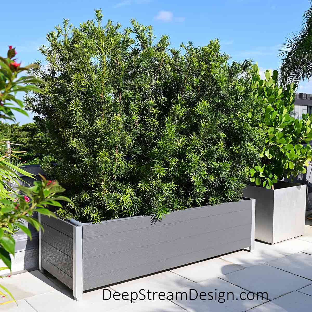 On a penthouse rooftop deck, a large dark gray Mariner recycled plastic lumber planter containing tall podocarpus trimmed to form a screen wall 8 feet high. Podocarpus can grow up to 40 feet tall. DeepStream's complete 3-part planter system makes it easy to successfully grow natural conifer or evergreen privacy screens that are easy to maintain. The square DeepStream natural aluminum planter for trees next to it is growing a sea grape tree which, while considerably slower growing, can be pruned and trained in spectacular shapes to create privacy screens.